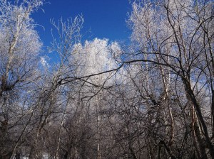 frost in the trees