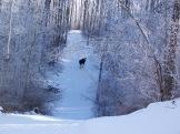 Moose on the trails, near Stony Plain, Alberta