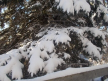 Snow is heavy in the trees
