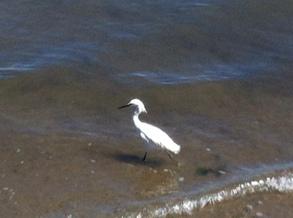 An egret at Coronado Island