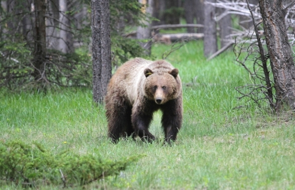 Presence of aggressive bears leads to closures near Banff townsite