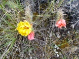 Prickly pear cactus in flower