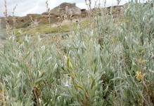 Sage in the badlands