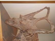 skeleton of a horned dinosaur.