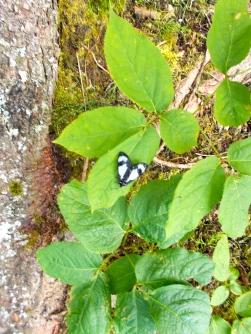 butterfly at Kinnaird