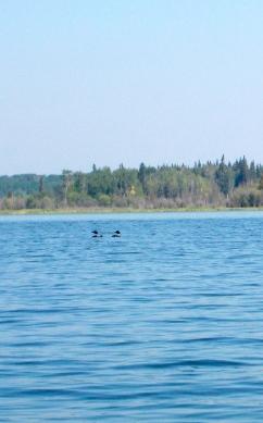 Loon family on Kinnaird Lake