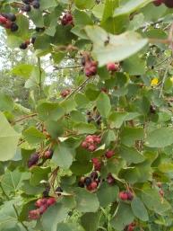 Saskatoon berries: my favourite!