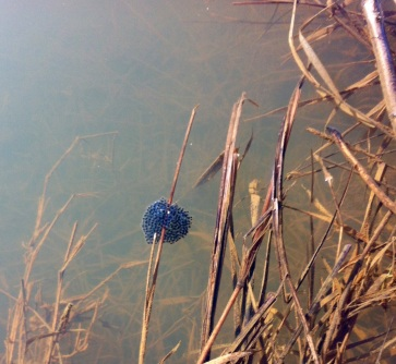 Frog eggs: I haven't seen these since I was a kid!