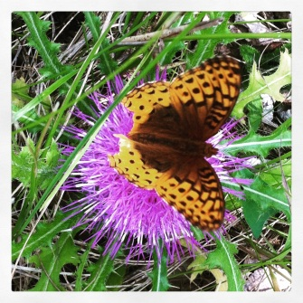 Fritillary (?) butterfly, on a giant thistle flower