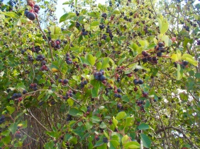 Fresh, ripe Saskatoon berries for the picking, on the Millennium Trail, Cold Lake.