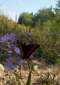 Butterfly (Tortoiseshell?) on aster flower