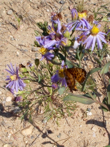 Butterfly (Fritillary) on an aster