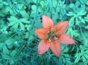 Tiger Lily: Saskatchewan's flower
