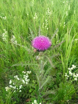 Gorgeous thistle