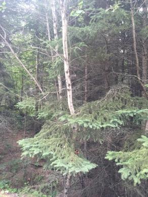 Birch & Spruce