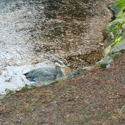 Great Blue Heron, Beacon Hill Park